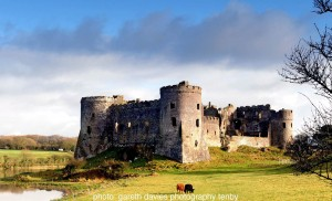 Carew Castle cattle_compressed